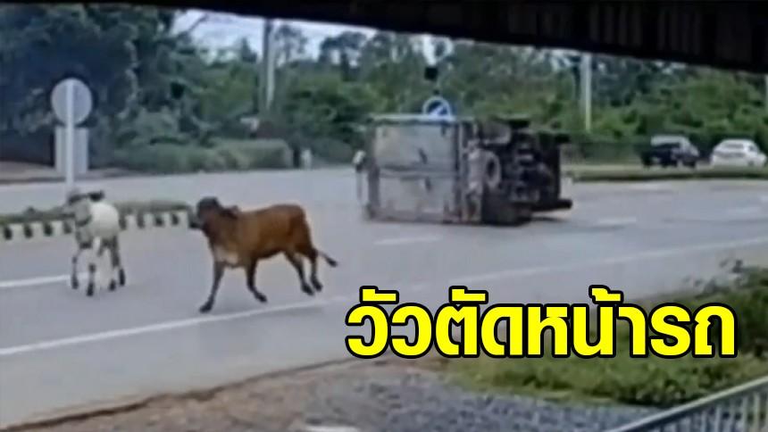 วัวโผล่ตัดหน้า รถบรรทุก 6 ล้อ หลบไม่ทัน เบรคจนรถพลิกคว่ำ