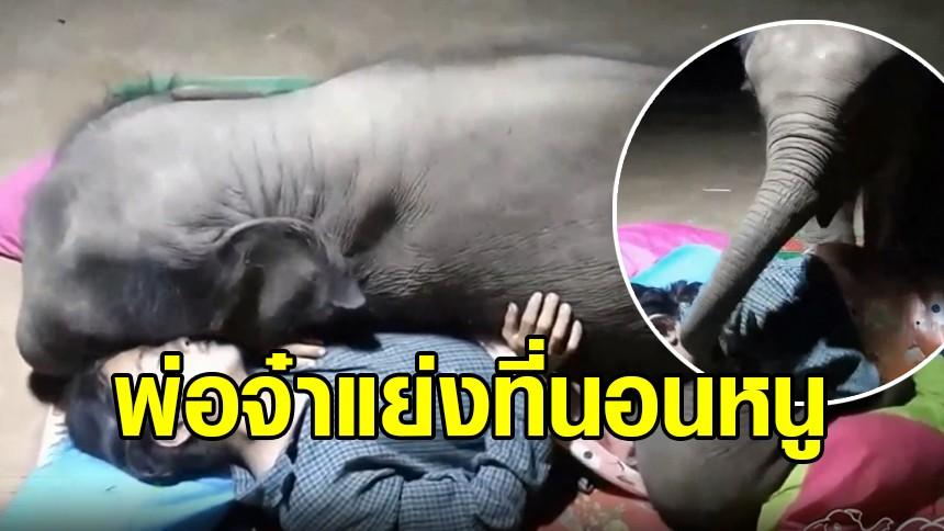 ช้างน้อยขี้หวง! 'เจ้าจูเนียร์' โดนพ่อจ๋าแย่งที่นอน ยื้อยุดฉุดกระชากกันสุดน่ารัก