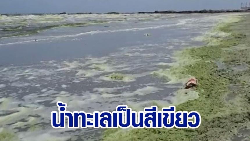 หาดบางแสน เจอปรากฏการณ์ 'แพลงก์ตอนบลูม' ทำน้ำทะเลเป็นสีเขียว เหม็นคลุ้งทั้งหาด