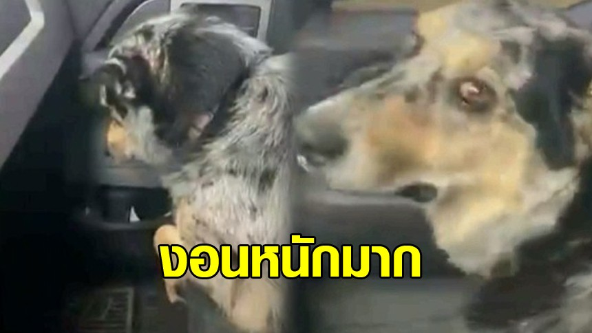 อาการแบบนี้ เขาเรียกว่างอนหรือเปล่า? น้องหมาไม่ยอมมองหน้า ร้องสะอื้น หลังเจอสัตว์เลี้ยงตัวใหม่