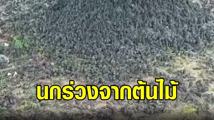 นกกระจอกหลายพันตัว ร่วงตกจากต้นไม้ในอินโดนีเซีย