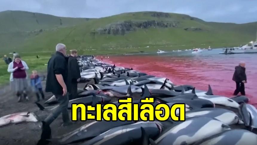 ทะเลสีเลือด...เดนมาร์กสังหารโลมา ตามประเพณีกว่า 1,500 ตัว
