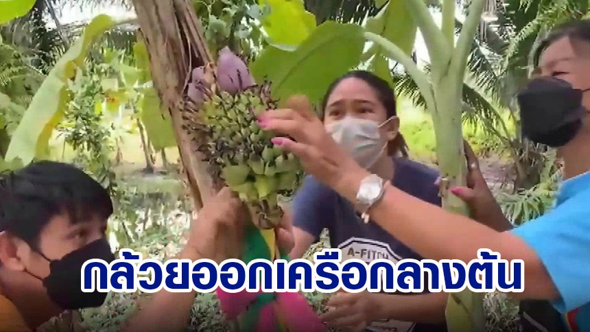 ความหวังหมู่บ้าน สาวใหญ่เจอต้นกล้วย ออกเครือกลางลำต้น คนแห่ขอเลขเด็ด