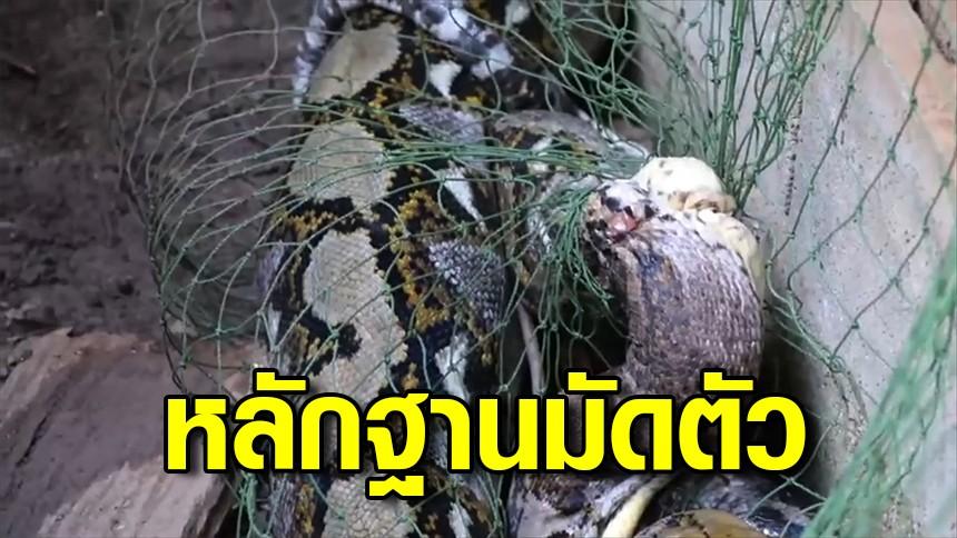 สิ้นฤทธิ์! งูเหลือมขนาดใหญ่ย่องกินไก่ชน พลาดท่าติดกับดัก