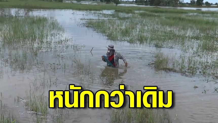 ชาวโนนสูงโอด! น้ำลำเชียงไกรทะลักท่วมนารอบที่ 2 ต้นข้าวจมน้ำเสียหายหลายหมื่นไร่
