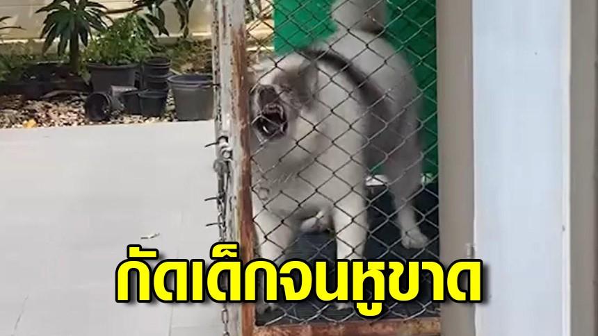 สุนัขพันธุ์บางแก้วตกใจ ขย้ำเด็กวัย 10 ขวบ จนหูขาด